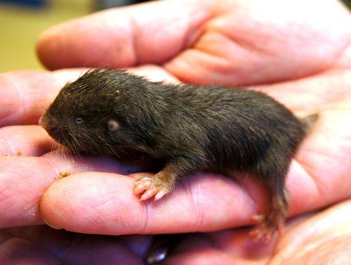 M1754 mole-rat 5