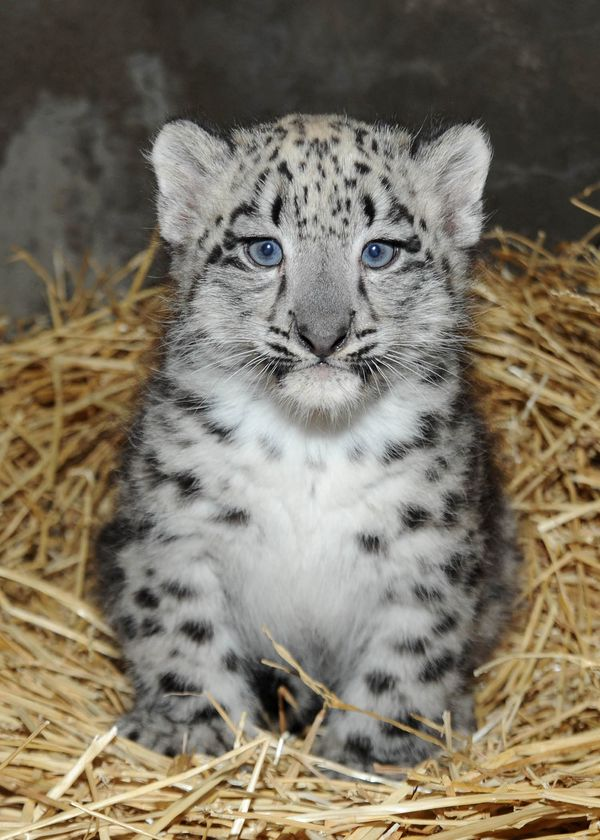 Snow Leopard Cub Born at Brookfield Zoo
