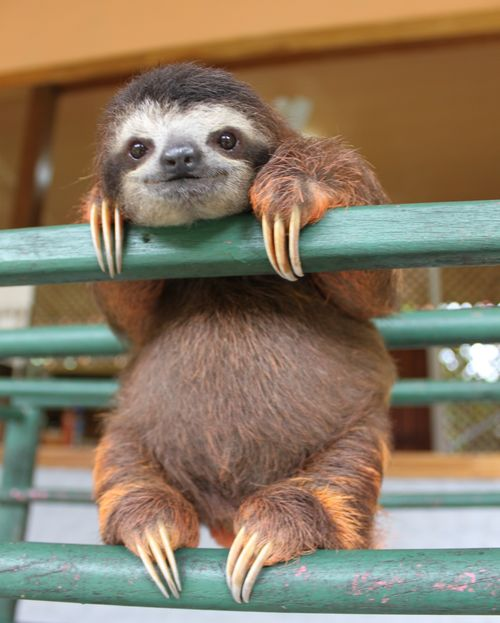 Baby Sloth from Sloth Sanctuary 1.jpg