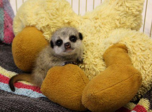 Meerkat with Duck