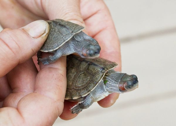 Prague Zoo Is The First To Hatch Rare Turtles Zooborns
