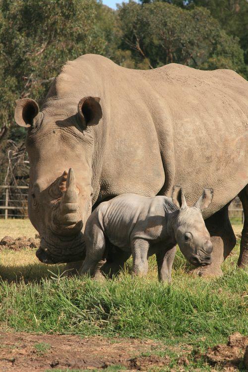 White Rhino Calf_15.5.13_credit Leonie Saville (2)