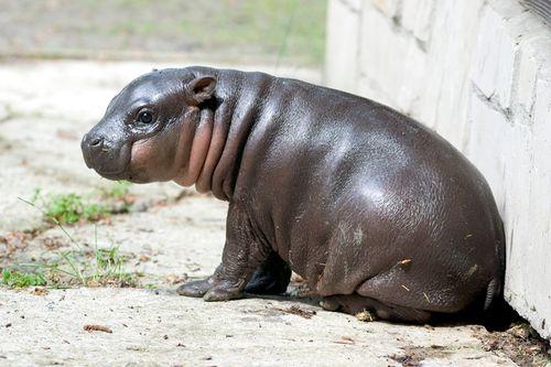 Hipopotam10