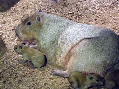 CleMetZoo capybara baby 4