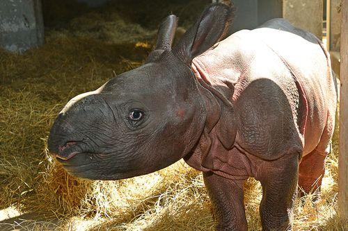 Indian rhino Jiyu (2)