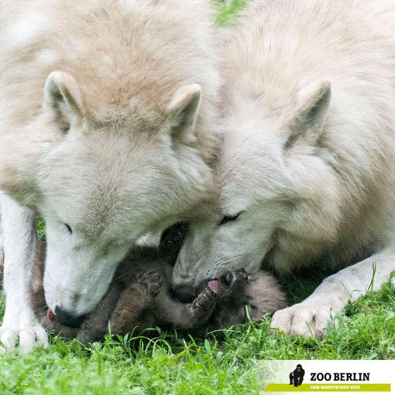 Wolves parents