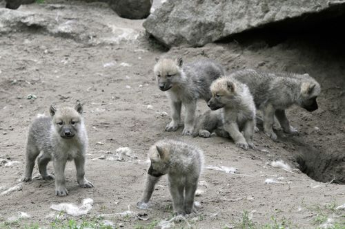 Wolves pups