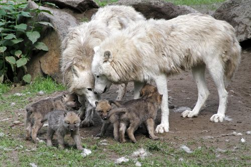 Wolves families