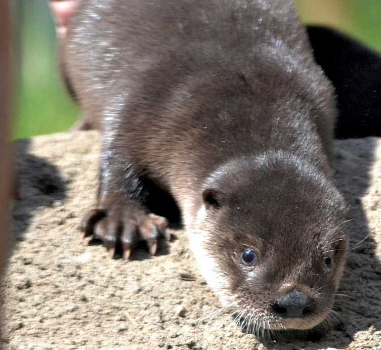 Otter Pups 1