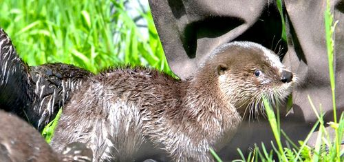 Otter Pups 3