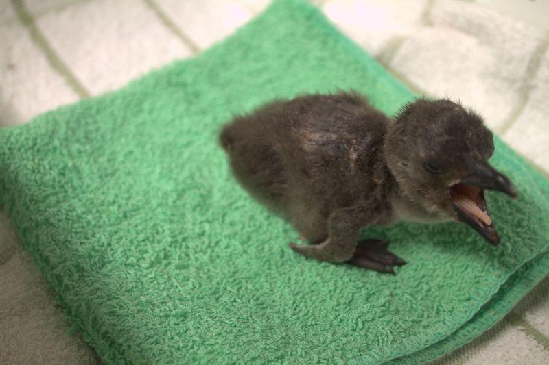 Penguin Number Three on Towel