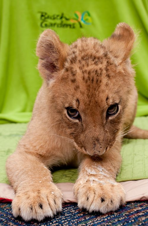 Lion shy