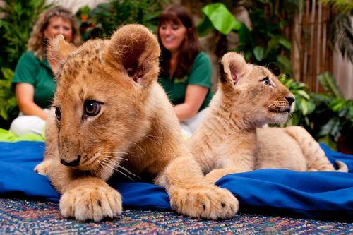 Lion duo