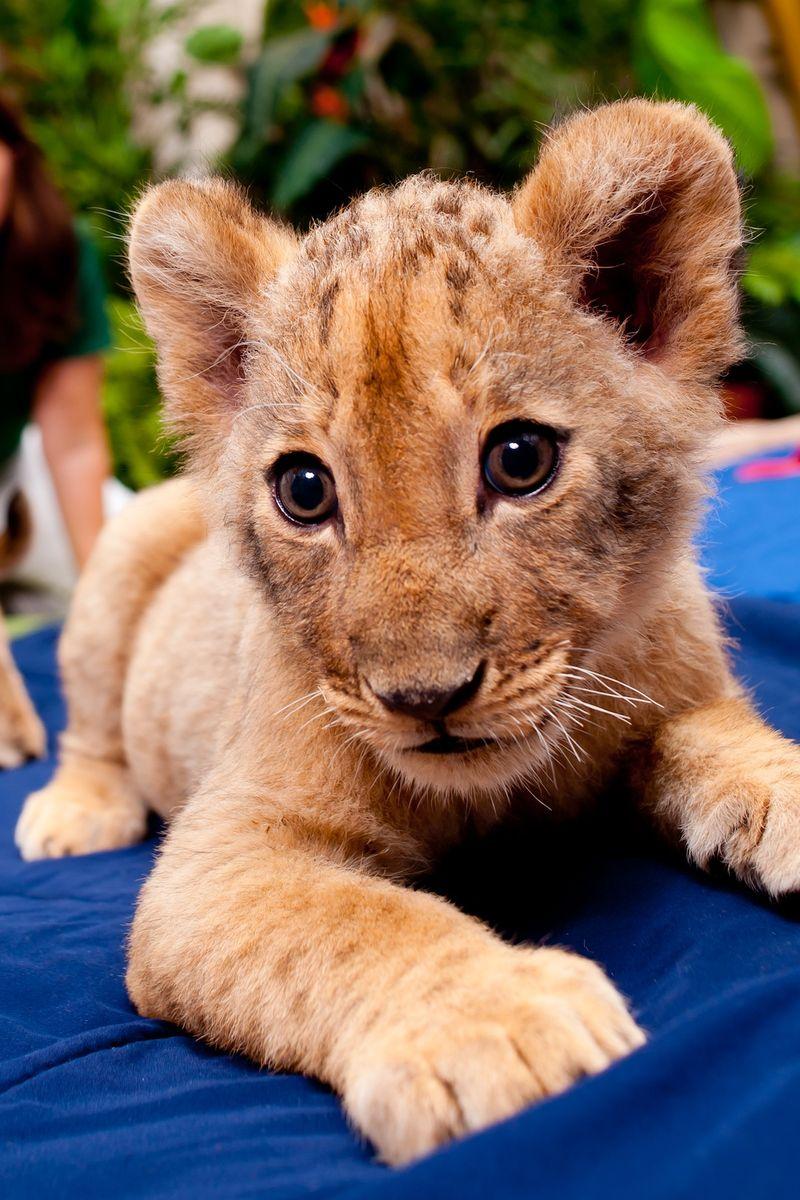 Lion solo 1