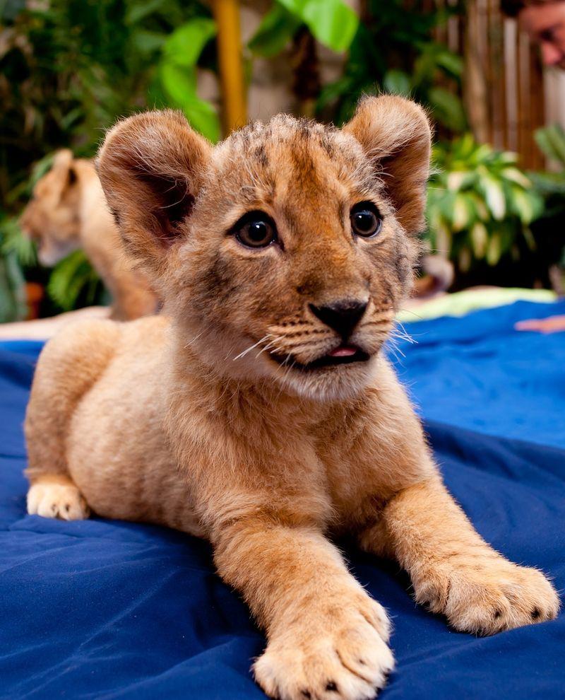 Lion solo 2