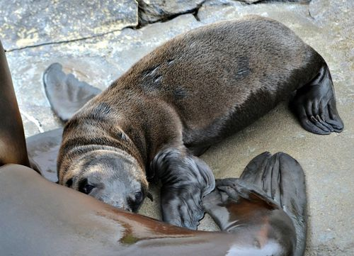 Sea lion pup at SPZ (Kelli O'Brien) (3)
