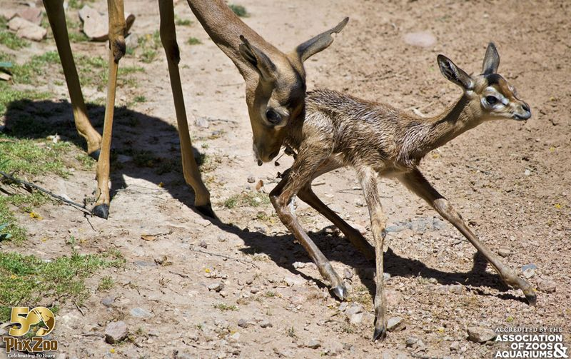 Phoenix Zoo - Gerenuk Calf - April 2013 - 03