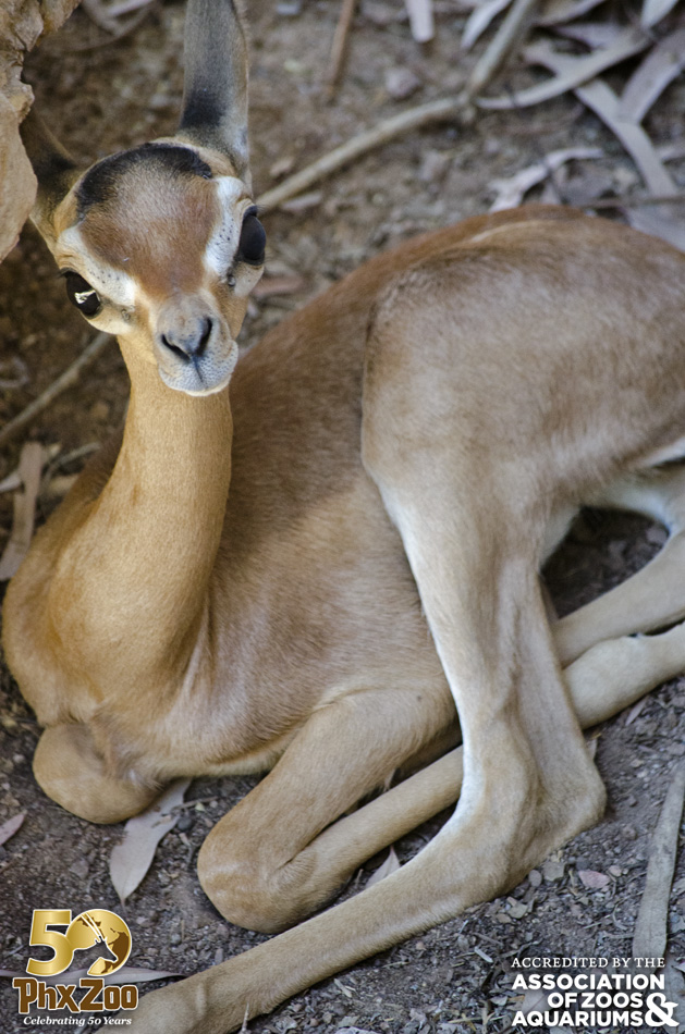 Phoenix Zoo - Gerenuk Calf - May 2013 - 03