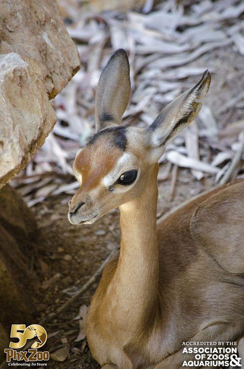 Phoenix Zoo - Gerenuk Calf - May 2013 - 01