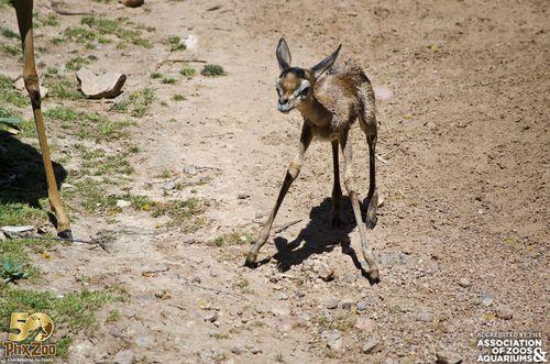 Phoenix Zoo - Gerenuk Calf - April 2013 - 04