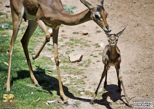Phoenix Zoo - Gerenuk Calf - April 2013 - 05