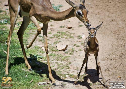 Phoenix Zoo - Gerenuk Calf - April 2013 - 05