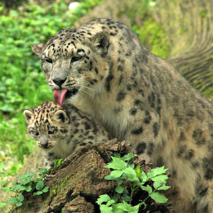 ZooSBG_Schneeleoparden_Nachwuchs2106131