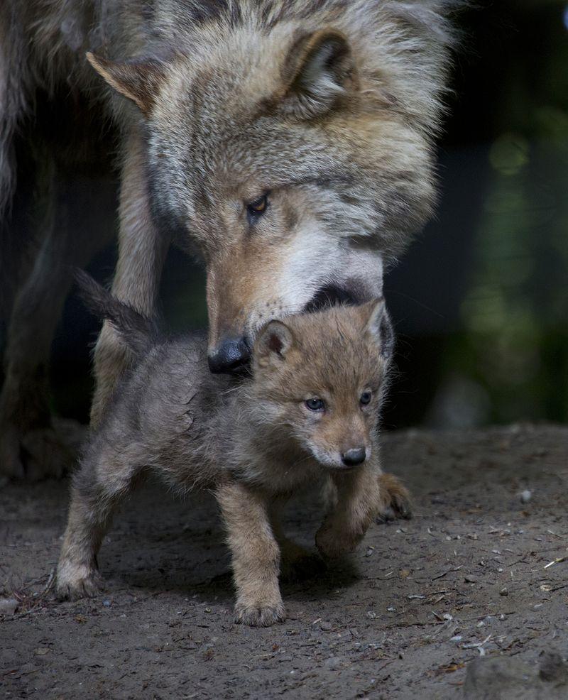 Wolf nape
