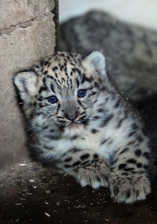DZG snow leopard 2PR