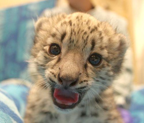 Cub laugh