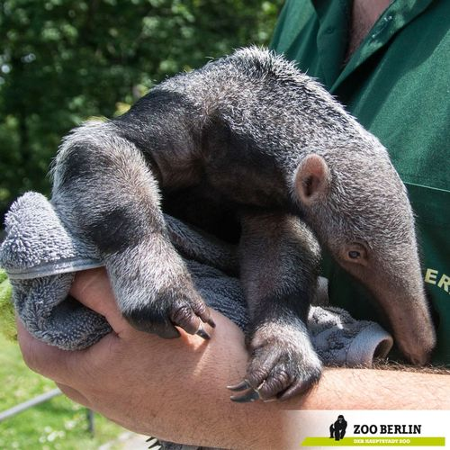 image gallery anteater feet