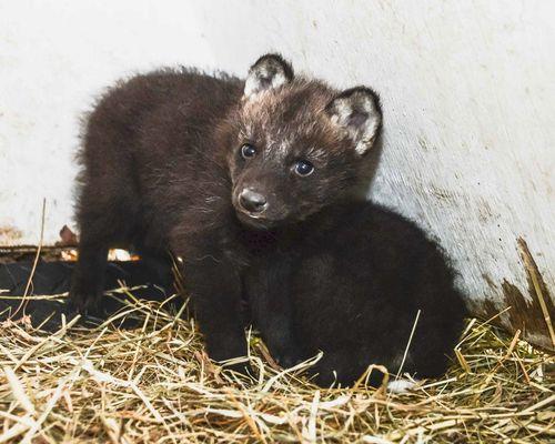 Wolf twins 1