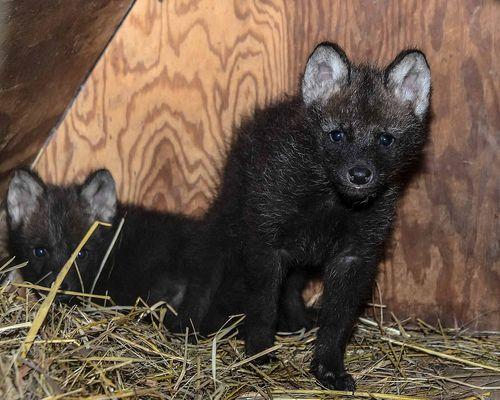 Wolf twins tilt