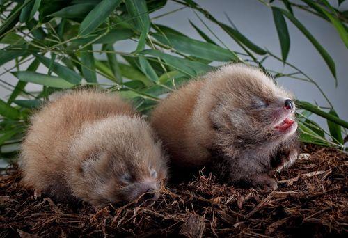 Red pandas 4