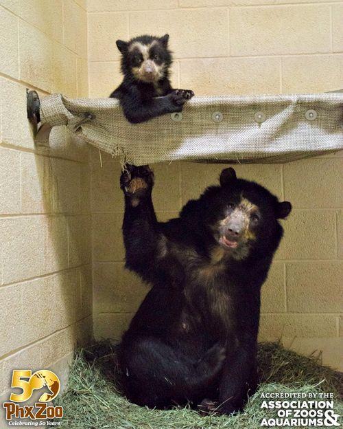 Phoenix-Zoo---by-Joseph-Becker---Andean-bear-cub---01