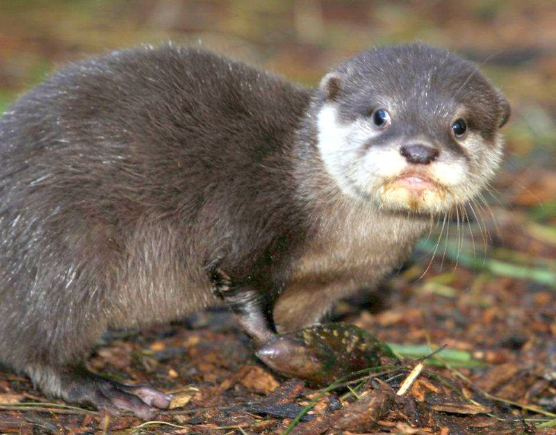 Otter mouth