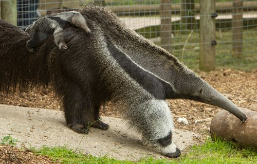 Baby giant anteater at Howletts Wild Animal Park c Dave Rolfe