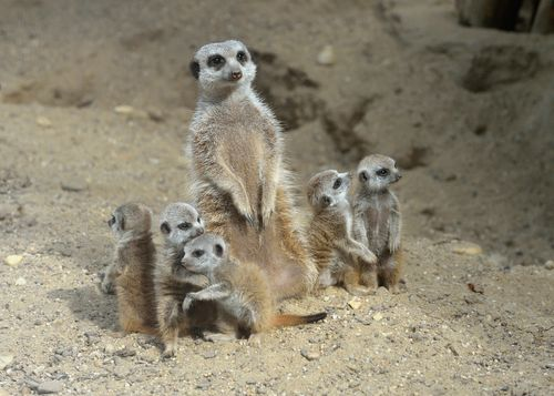 Baby Meerkats Were Born on
