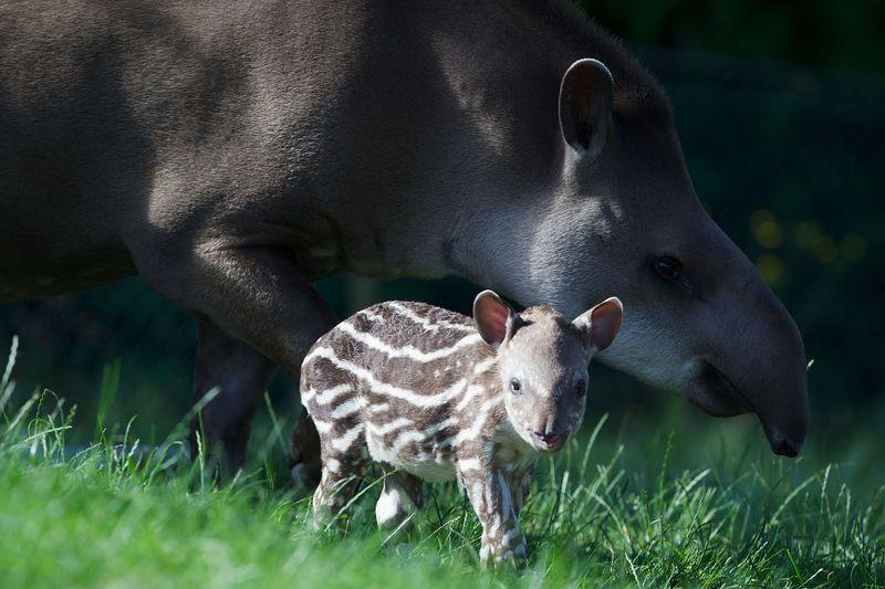 4 tapir