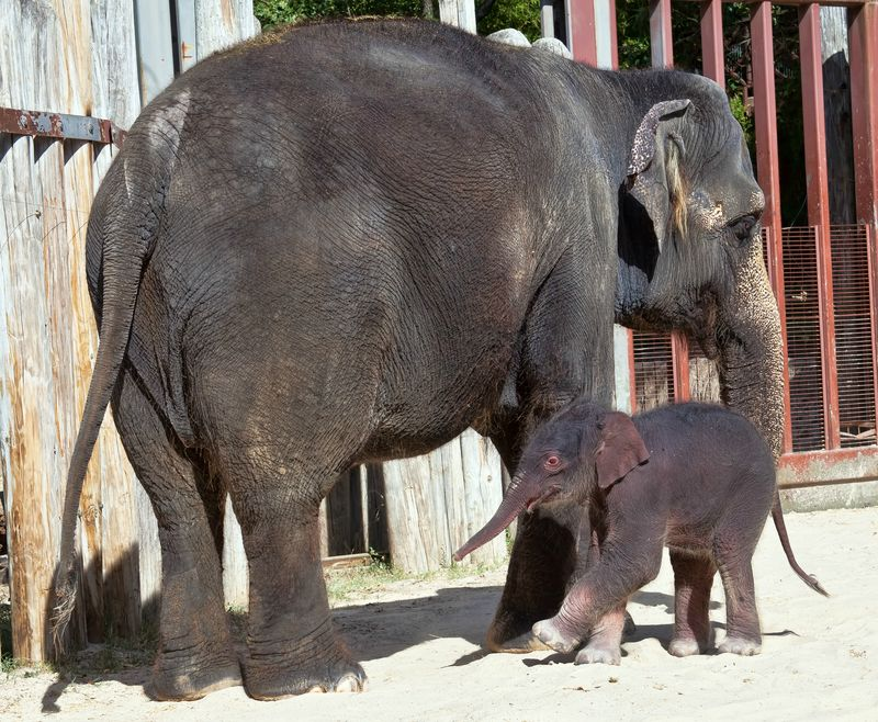 Fort Worth Zoo Elephant Calf_1