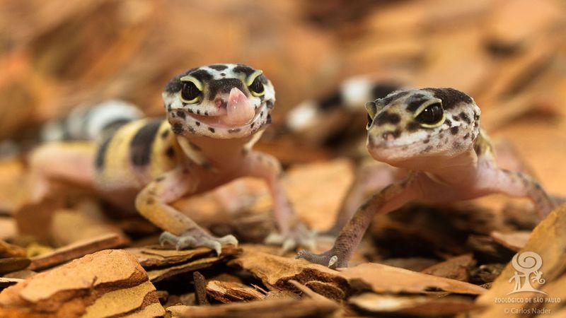 20130710_122348_leopard_gecko_Foto_Carlos_Nader