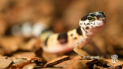 20130710_123534_leopard_gecko_Foto_Carlos_Nader