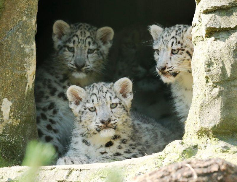 Cub trio