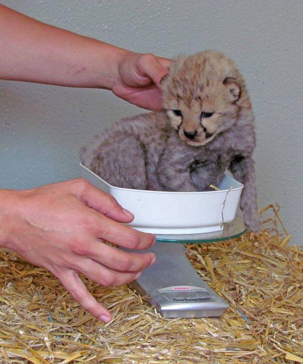 Cheetah Triplets Weigh In at Zoo Salzburg
