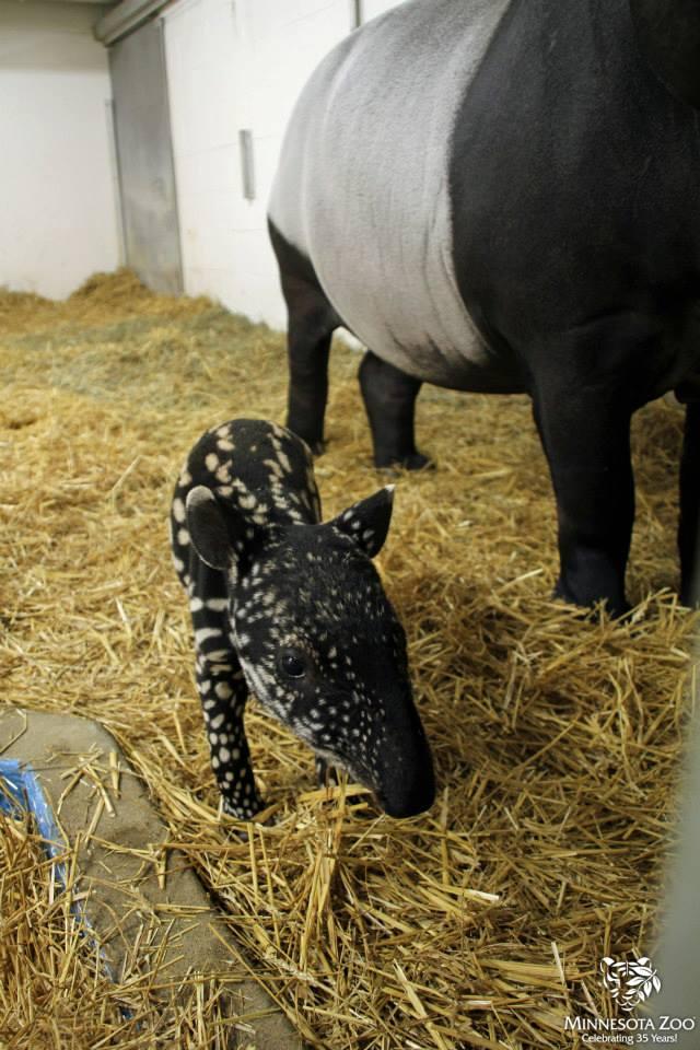 Tapir w: mom size