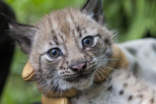 4 lynx