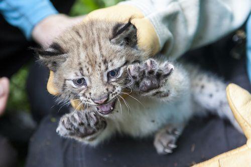 9 lynx