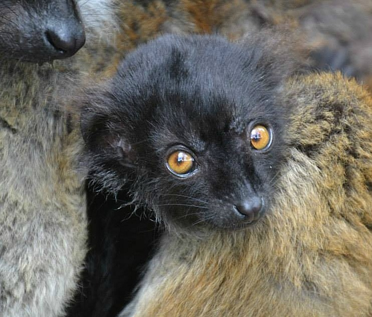 Baby Black Lemur at Drusillas Park