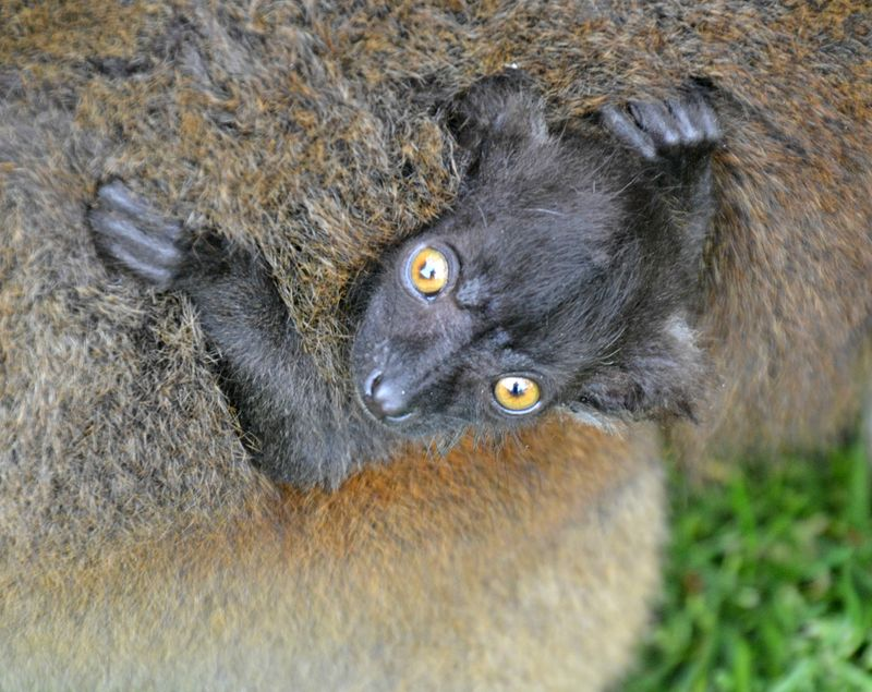 Black Lemur 18.05.13 26