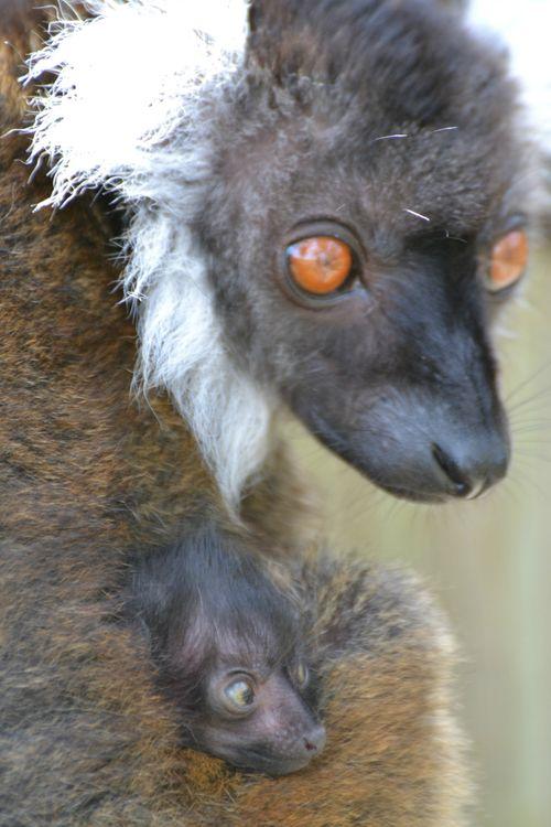 Black lemur 19.04.13 40